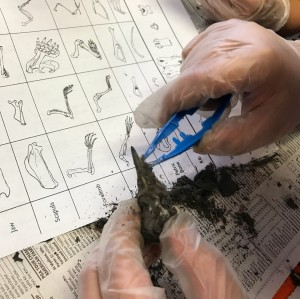Kids love messy science activities! Our students dissected owl pellets to learn about mammal skeletons.